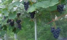 Juodupe grapes in greenhouse