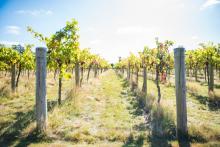 Stanlake Park vineyard