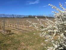 Pruning at Chartham