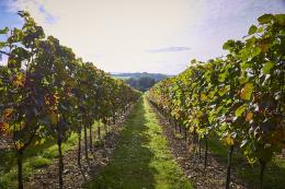 Alder Ridge Vineyard