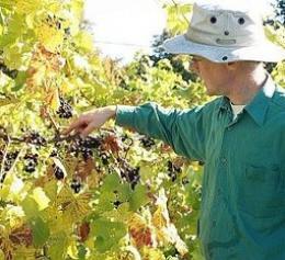 Bothy Vineyard