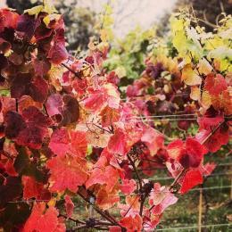 Swanaford Estate Vineyard