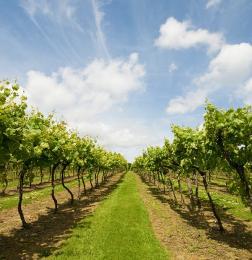 Biddenden Vineyard