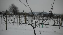 Wayford Vineyard