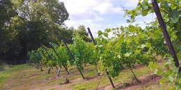 Wythall Estate Vineyard