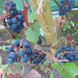 Dalrossach Vineyard