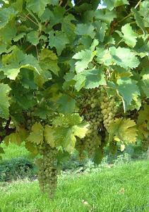 Meadow Grove Vineyard