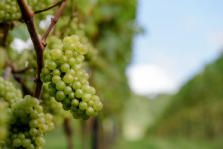 The Friends of Chilworth Manor Vineyard Harvest Day