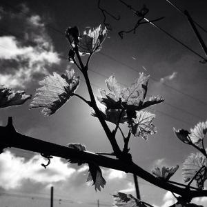 Sutton Ridge Vineyard